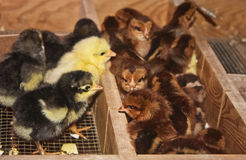 Young chicks. In  a incubator Royalty Free Stock Photo