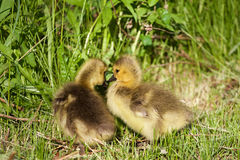 Young chicks are kissing Royalty Free Stock Images