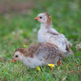 Young chicks Royalty Free Stock Images