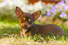 Young chihuahua Stock Photography