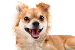 Young chihuahua Royalty Free Stock Photos