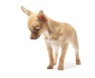 Young chihuahua Royalty Free Stock Images