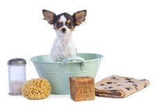Young Chihuahua in a basin to get washed. Young Chihuahua in a green basin to get washed on white background Royalty Free Stock Photos
