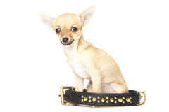 Young chihuahua and big black collar Stock Images