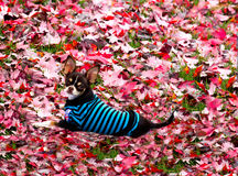 Young Chihuahua on carpet of leaves. Stock Images