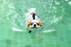 Young chihuahua dog wearing life vest jacket swim in swimming pool looking at camera with relax leisure time on holiday. Overweight adorable dog retreat lose royalty free stock photography