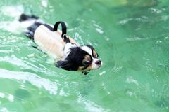 Young chihuahua dog wearing life vest jacket swim in swimming pool with relax leisure time on holiday. Overweight adorable dog. Retreat lose weight by exercise stock image