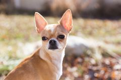 Young Chihuahua with Ears Perked. Fawn and white colored chihuahua sitting in yard, looking back with ears perked Stock Images