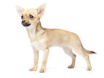 Young chihuahua Royalty Free Stock Photo