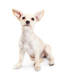 Young Chihuahua Mixed Breed Puppy Looking Up Royalty Free Stock Image