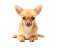 Young chihuahua puppy Stock Photography
