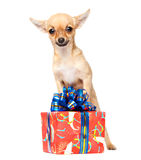 Young chihuahua puppy with Christmas giftbox Royalty Free Stock Photos