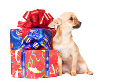 Young chihuahua puppy with Christmas Gifts Stock Images