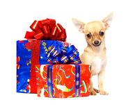 Young chihuahua puppy with Christmas Gifts. Young chihuahua isolated over white background Royalty Free Stock Images