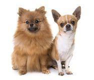 Young chihuahua and spitz Stock Photography