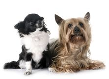 Young chihuahua and yorkshire terrier Stock Photography