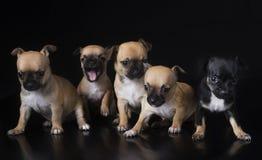 Group pf puppies chihuahua Stock Photos