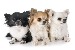 Young chihuahuas in studio Stock Image