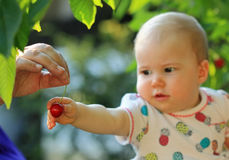 Young child catching cherry Royalty Free Stock Images