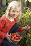 Young child harvesting tomatoes Stock Images