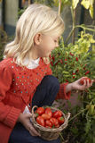 Young child harvesting tomatoes. Picking tomatoes smiling Royalty Free Stock Photos