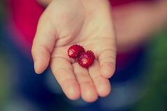 Young child holding two ripe red strawberries Stock Image