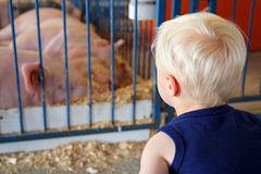 Young Child Looking at Pigs at County Fair. A young child is looking at a pig in a pen at an American County Fair Stock Photos