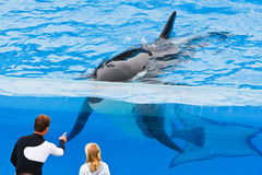 Young child meeting Shamu at SeaWorld Royalty Free Stock Photo