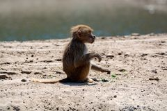 Young child olive baboon monkey sitting and eating bamboo leaves. Outdoors in nature royalty free stock images