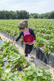Young Child Picking Strawberries. Little girl picking strawberries in a field Stock Image