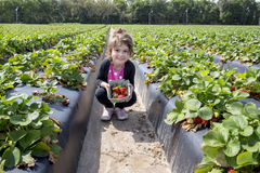 Young Child Picking Strawberries Royalty Free Stock Photos