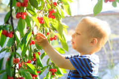 Young child picking up cherries from the tree. Royalty Free Stock Photography