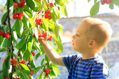 Young child picking up cherries from the tree. Stock Image