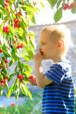 Young child picking up cherries from the tree. Stock Photos