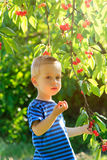 Young child picking up cherries from the tree. Royalty Free Stock Photo