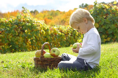 Young Child Playing with Apples at Orchard. A young boy is sitting outside at an apple orchard on a sunny autumn day, looking at fruit in a wicker basket Stock Images