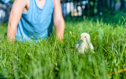Young child playing with a chick in grass Stock Image
