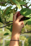 Young child's hand reaching up to pick an apple Royalty Free Stock Photos