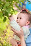 Young child touching cherry leaves by his hand Stock Photography