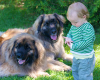 Young child with two big dogs. Small child with two big dogs in background Royalty Free Stock Photos