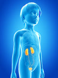 Young child - urinary system Royalty Free Stock Images