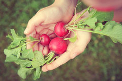 Young Childs Hands Holding Fresh Raw Garden Radishes. A young child is holding 3 fresh picked raw garden radishes in his hands on a summer day.  Vintage style Royalty Free Stock Images