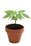 Young chili plant isolated on white Royalty Free Stock Photos