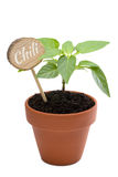 Young chili plant with lettering isolated on white Stock Image