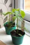 Young chilli plant. A young jalapeno chilli plant on a window sill Stock Photography