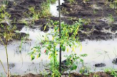 Young Chilli Tree With Many Chillies. Young Chilli Tree With so Many Chillies Royalty Free Stock Images