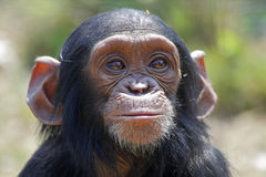 Young chimp. Portrait of young chimp – chimpanzee sanctuary in Zambia royalty free stock image