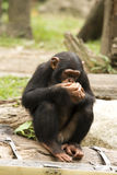 Young Chimp. A young chimpanzee eating with a wary eye Stock Images