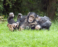 Young Chimpanzee Stock Photo
