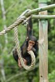 Young chimpanzee. Climbing young monkey in a zoo Royalty Free Stock Images